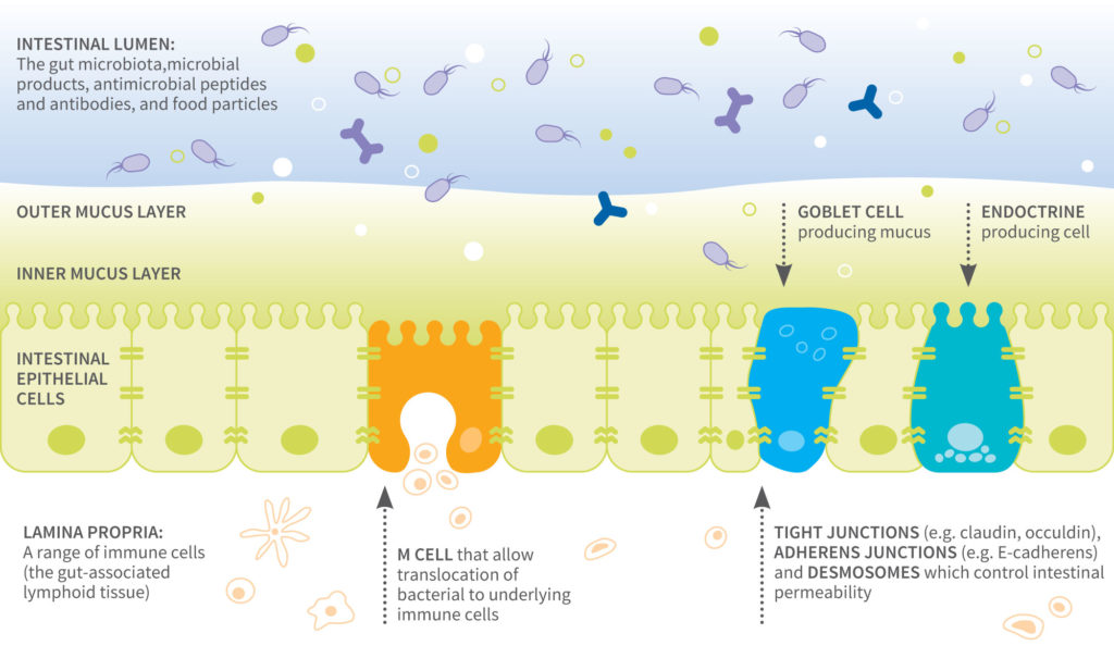 [illustrasjon] Figure 1. Components of the gut barrier
